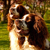 Our neighbours two beautiful Springer Spaniels!